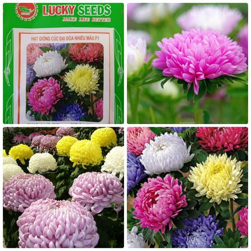COMBO 10 gói hạt giống hoa cúc đại đóa nhiều màu LUCKY SEEDS TẶNG 1 phân bón