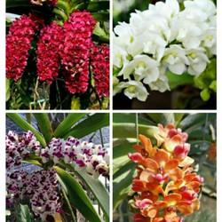 hoa phong lan đai châu thái năm 3