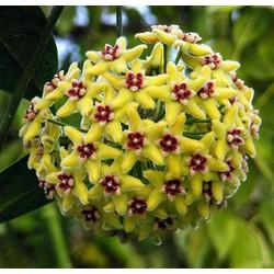 Combo 5 cây giống lan cẩm cù đủ loại