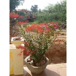 Lan rừng Phượng đỏ 15 cây 90k [ĐƯỢC KIỂM HÀNG] - 16227913 thumbnail