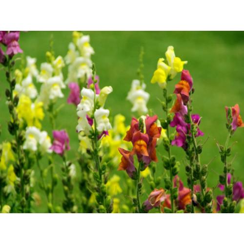 COMBO 2 gói hạt giống hoa hoàng ngư F1 LUCKY SEEDS TẶNG 1 phân bón