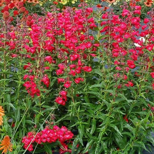 Hạt giống Hoa Son Môi đỏ gói 50 hạt - 6266362 , 16382929 , 15_16382929 , 25000 , Hat-giong-Hoa-Son-Moi-do-goi-50-hat-15_16382929 , sendo.vn , Hạt giống Hoa Son Môi đỏ gói 50 hạt