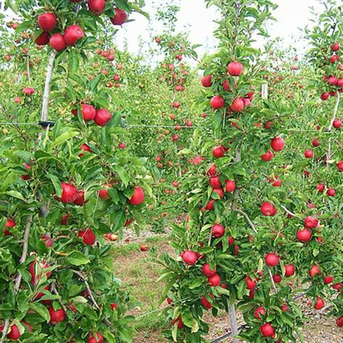 Bộ 2 gói hạt giống táo lùn