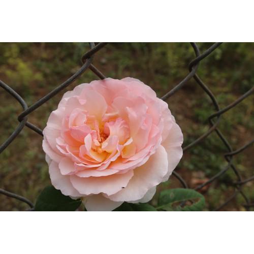 Combo Hoa hồng leo Pháp màu trắng nhiều cánh, Phân bò 1Kg, Phân dê 0,5Kg Hoa nguyên bầu đất - 11387272 , 16658719 , 15_16658719 , 350000 , Combo-Hoa-hong-leo-Phap-mau-trang-nhieu-canh-Phan-bo-1Kg-Phan-de-05Kg-Hoa-nguyen-bau-dat-15_16658719 , sendo.vn , Combo Hoa hồng leo Pháp màu trắng nhiều cánh, Phân bò 1Kg, Phân dê 0,5Kg Hoa nguyên bầu đất