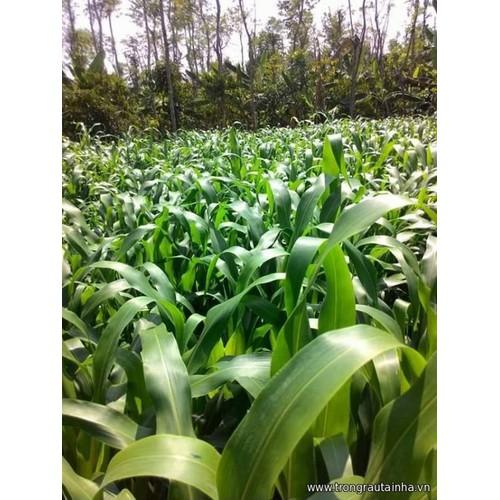 Hạt cỏ Sudan Super BMR 500g