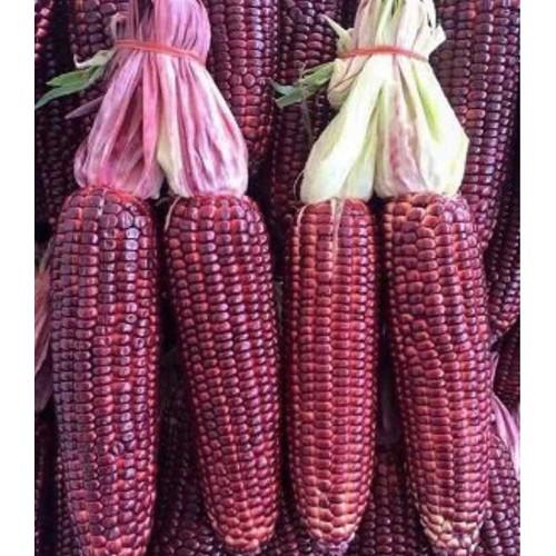 Hạt giống Bắp Tím ngọt Hắc Long 270 Hạt - Bắp Thảo dược  - Ăn sống rất ngọt - Bắp tím toàn thân