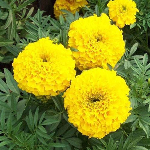 Bộ 5 gói hạt giống hoa cúc vạn thọ