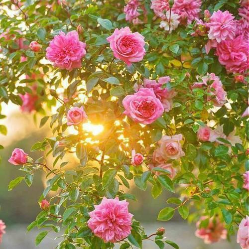 Bộ 2 gói hạt giống hoa hồng leo Pháp - 6721207 , 16743305 , 15_16743305 , 44000 , Bo-2-goi-hat-giong-hoa-hong-leo-Phap-15_16743305 , sendo.vn , Bộ 2 gói hạt giống hoa hồng leo Pháp
