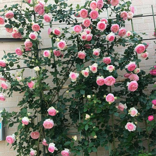 Hạt giống hoa hồng leo Pháp - 6721097 , 16743159 , 15_16743159 , 22000 , Hat-giong-hoa-hong-leo-Phap-15_16743159 , sendo.vn , Hạt giống hoa hồng leo Pháp