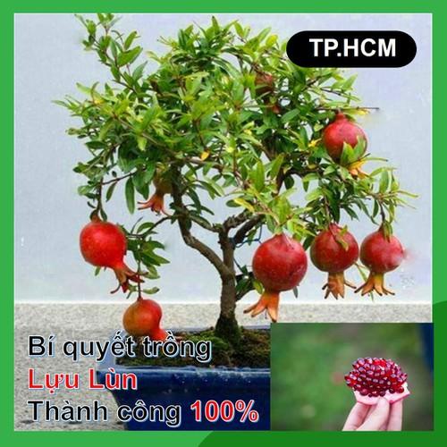 HCM-Hạt giống Lựu lùn gói 10 Hạt loại Lựu bonsai quả lớn thân lùn - 6781231 , 16792849 , 15_16792849 , 18000 , HCM-Hat-giong-Luu-lun-goi-10-Hat-loai-Luu-bonsai-qua-lon-than-lun-15_16792849 , sendo.vn , HCM-Hạt giống Lựu lùn gói 10 Hạt loại Lựu bonsai quả lớn thân lùn