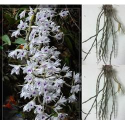 Combo 5 loại hoa lan rừng : Ý ngọc, hạc vỹ , kiều vàng, kim điệp, đùi gà