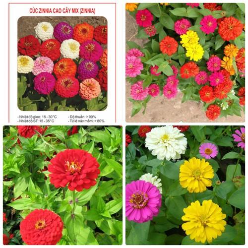 COMBO 2 gói hạt giống hoa cúc lá nhám zinnia cao cây TẶNG 1 phân bón - 6951036 , 16917633 , 15_16917633 , 49000 , COMBO-2-goi-hat-giong-hoa-cuc-la-nham-zinnia-cao-cay-TANG-1-phan-bon-15_16917633 , sendo.vn , COMBO 2 gói hạt giống hoa cúc lá nhám zinnia cao cây TẶNG 1 phân bón