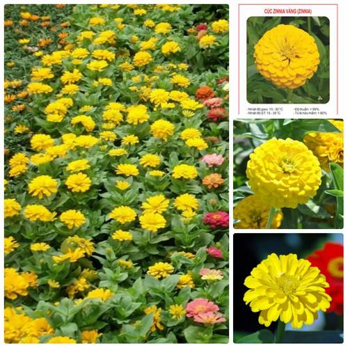 COMBO 5 gói hạt giống hoa cúc lá nhám Zinnia vàng TẶNG 1 phân bón