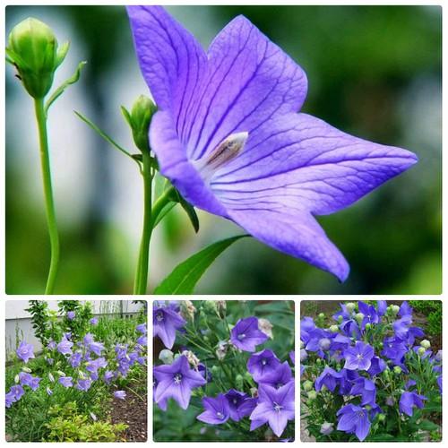 Hạt giống cây hoa cát cánh - 4787856 , 17023733 , 15_17023733 , 25000 , Hat-giong-cay-hoa-cat-canh-15_17023733 , sendo.vn , Hạt giống cây hoa cát cánh