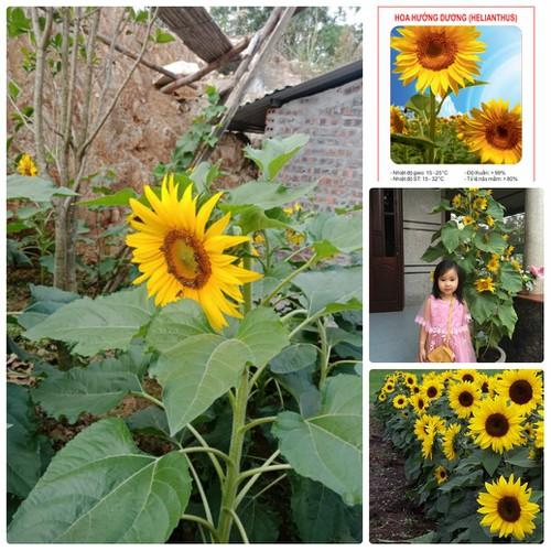 COMBO 5 gói hạt giống hoa hướng dương vàng cao TẶNG 1 phân bón - 4619164 , 16997277 , 15_16997277 , 89000 , COMBO-5-goi-hat-giong-hoa-huong-duong-vang-cao-TANG-1-phan-bon-15_16997277 , sendo.vn , COMBO 5 gói hạt giống hoa hướng dương vàng cao TẶNG 1 phân bón