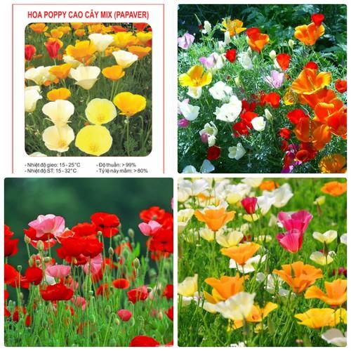 COMBO 2 gói hạt giống hoa Poppy cao cây mix nhiều màu TẶNG 1 phân bón - 7091749 , 16998794 , 15_16998794 , 49000 , COMBO-2-goi-hat-giong-hoa-Poppy-cao-cay-mix-nhieu-mau-TANG-1-phan-bon-15_16998794 , sendo.vn , COMBO 2 gói hạt giống hoa Poppy cao cây mix nhiều màu TẶNG 1 phân bón