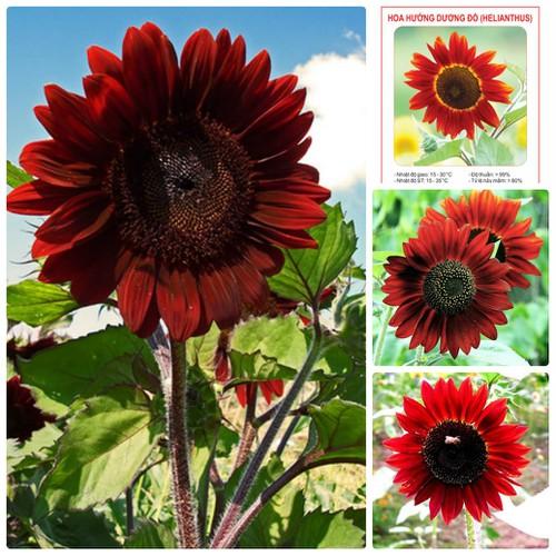 COMBO 5 gói hạt giống hoa hướng dương cao đỏ TẶNG 1 phân bón - 4619326 , 16997641 , 15_16997641 , 89000 , COMBO-5-goi-hat-giong-hoa-huong-duong-cao-do-TANG-1-phan-bon-15_16997641 , sendo.vn , COMBO 5 gói hạt giống hoa hướng dương cao đỏ TẶNG 1 phân bón