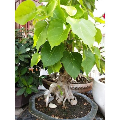 Hạt giống cây bồ đề ấn độ 1 gói 1 hạt - 7121798 , 17020131 , 15_17020131 , 25000 , Hat-giong-cay-bo-de-an-do-1-goi-1-hat-15_17020131 , sendo.vn , Hạt giống cây bồ đề ấn độ 1 gói 1 hạt