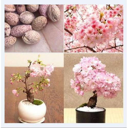 Hạt giống hoa anh đào Nhật_ gói 5 hạt tặng kèm 3 viên nén ươm hạt
