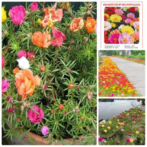 COMBO 5 gói hạt giống hoa mười giờ mỹ mix TẶNG 1 phân bón - 7149206 , 17034258 , 15_17034258 , 89000 , COMBO-5-goi-hat-giong-hoa-muoi-gio-my-mix-TANG-1-phan-bon-15_17034258 , sendo.vn , COMBO 5 gói hạt giống hoa mười giờ mỹ mix TẶNG 1 phân bón
