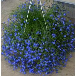 Hạt giống hoa cúc lobelia _300 hạt