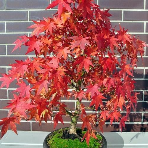 Bộ 5 gói hạt giống cây cảnh - Hạt giống phong lá đỏ bonsai - 7136919 , 17027448 , 15_17027448 , 125000 , Bo-5-goi-hat-giong-cay-canh-Hat-giong-phong-la-do-bonsai-15_17027448 , sendo.vn , Bộ 5 gói hạt giống cây cảnh - Hạt giống phong lá đỏ bonsai