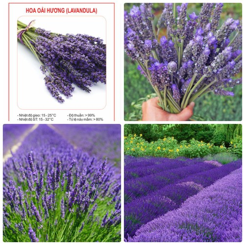 COMBO 2 gói hạt giống hoa oải hương tím Lavender TẶNG 1 phân bón - 7157352 , 17039158 , 15_17039158 , 49000 , COMBO-2-goi-hat-giong-hoa-oai-huong-tim-Lavender-TANG-1-phan-bon-15_17039158 , sendo.vn , COMBO 2 gói hạt giống hoa oải hương tím Lavender TẶNG 1 phân bón