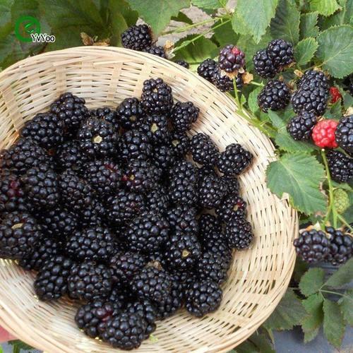 Hạt giống cây mâm xôi đen - 7141766 , 17029952 , 15_17029952 , 18000 , Hat-giong-cay-mam-xoi-den-15_17029952 , sendo.vn , Hạt giống cây mâm xôi đen