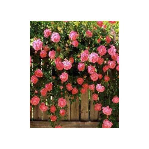 Gói 10 hạt giống hoa hồng leo pháp tăng 5 viên nén ươm hạt