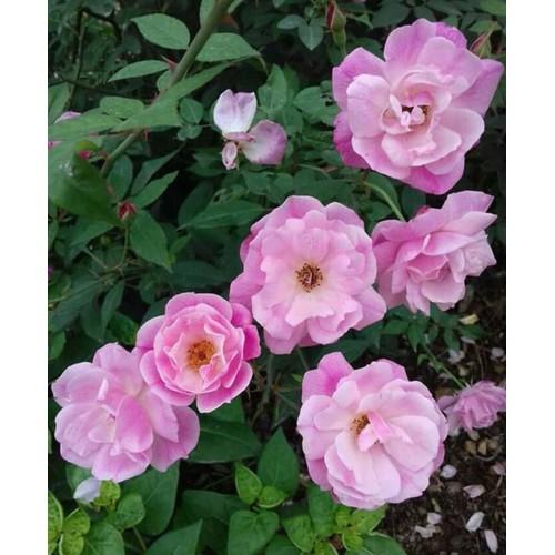Cây hoa hồng cổ quế kép