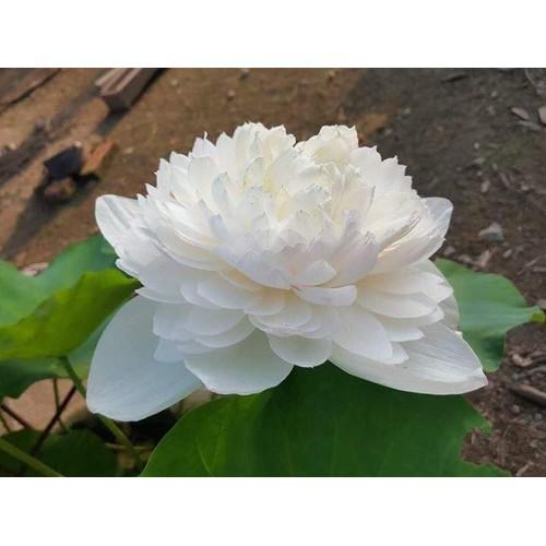 Hạt giống hoa sen bách diệp hoa màu trắng_ gói 5 hạt