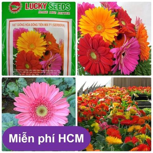 HCM-Hạt giống hoa Đồng Tiền gói 10 hạt - Thuần hóa Phù hợp khí hậu VN