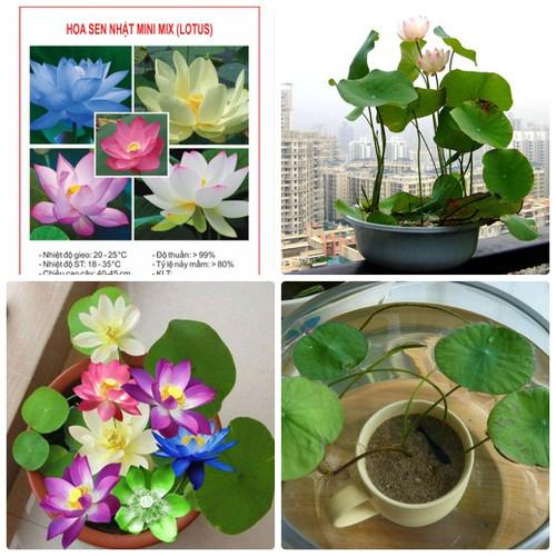 COMBO 2 gói hạt giống hoa sen Nhật mini mix TẶNG 1 phân bón - 7185779 , 17053275 , 15_17053275 , 69000 , COMBO-2-goi-hat-giong-hoa-sen-Nhat-mini-mix-TANG-1-phan-bon-15_17053275 , sendo.vn , COMBO 2 gói hạt giống hoa sen Nhật mini mix TẶNG 1 phân bón