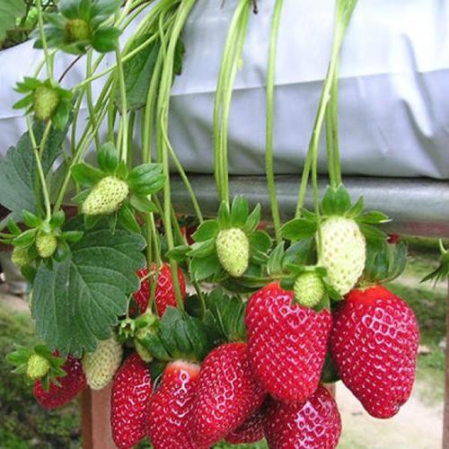 Bộ 10 gói hạt giống dâu tây Nhật chịu nhiệt - 7251532 , 17087809 , 15_17087809 , 200000 , Bo-10-goi-hat-giong-dau-tay-Nhat-chiu-nhiet-15_17087809 , sendo.vn , Bộ 10 gói hạt giống dâu tây Nhật chịu nhiệt
