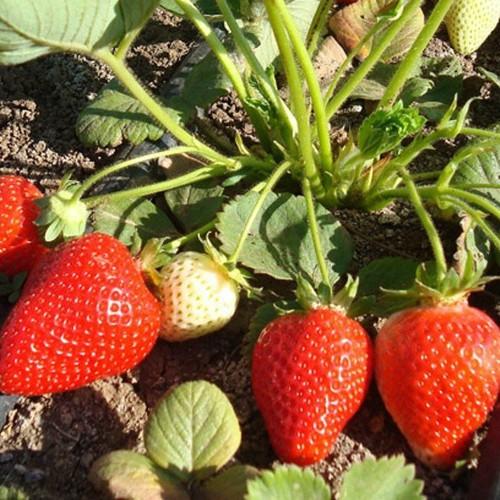 Bộ 4 gói Hạt giống Dâu tây chịu nhiệt Nhật - Siêu dễ trồng - 11576347 , 17729148 , 15_17729148 , 81000 , Bo-4-goi-Hat-giong-Dau-tay-chiu-nhiet-Nhat-Sieu-de-trong-15_17729148 , sendo.vn , Bộ 4 gói Hạt giống Dâu tây chịu nhiệt Nhật - Siêu dễ trồng
