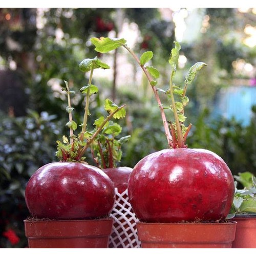 Combo 3 gói hạt giống củ cải đỏ khổng lồ_củ đỏ cải thần tài - 7224155 , 17073133 , 15_17073133 , 50000 , Combo-3-goi-hat-giong-cu-cai-do-khong-lo_cu-do-cai-than-tai-15_17073133 , sendo.vn , Combo 3 gói hạt giống củ cải đỏ khổng lồ_củ đỏ cải thần tài
