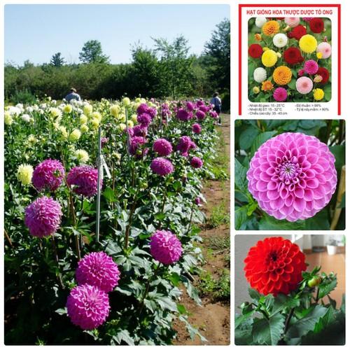 COMBO 5 gói hạt giống hoa thược dược tổ ong TẶNG 1 phân bón - 7269305 , 17097115 , 15_17097115 , 89000 , COMBO-5-goi-hat-giong-hoa-thuoc-duoc-to-ong-TANG-1-phan-bon-15_17097115 , sendo.vn , COMBO 5 gói hạt giống hoa thược dược tổ ong TẶNG 1 phân bón