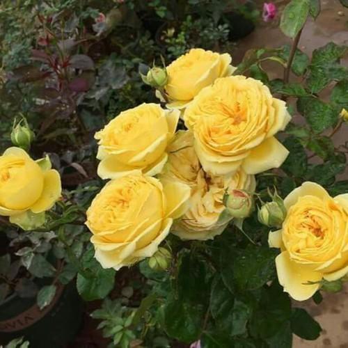 CÂY ĐÃ CÓ HOA-COMBO 3 Cây Hoa Hồng Catalina Roses - Hồng Ngoại_Tặng Phân Bón+Kích Mầm