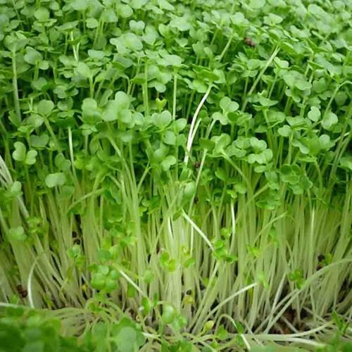 hạt giống rau cải mầm dinh dưỡng 20gr