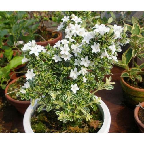Chậu cây giống hoa bạch tuyết mai - 6441326 , 16522523 , 15_16522523 , 60000 , Chau-cay-giong-hoa-bach-tuyet-mai-15_16522523 , sendo.vn , Chậu cây giống hoa bạch tuyết mai