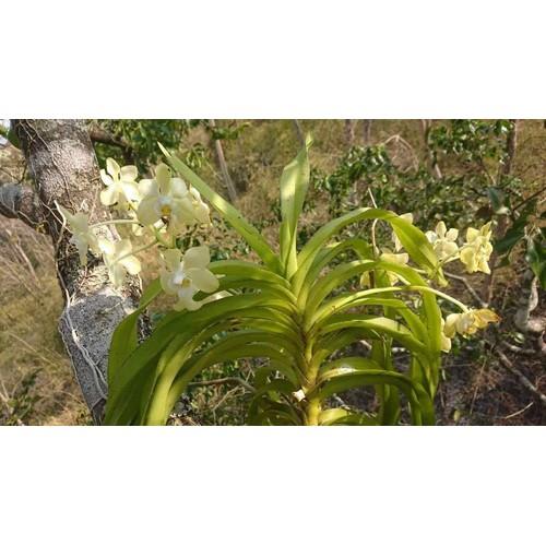 Lan rừng Mỹ dung dạ hương