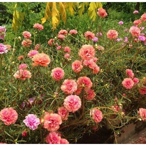 Bộ 5 gói hạt giống hoa mười giờ - 6501902 , 16584873 , 15_16584873 , 100000 , Bo-5-goi-hat-giong-hoa-muoi-gio-15_16584873 , sendo.vn , Bộ 5 gói hạt giống hoa mười giờ