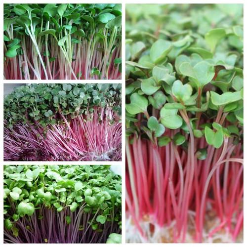 Hạt giống rau mầm cải đỏ Phú Nông - 6494154 , 16576659 , 15_16576659 , 17000 , Hat-giong-rau-mam-cai-do-Phu-Nong-15_16576659 , sendo.vn , Hạt giống rau mầm cải đỏ Phú Nông
