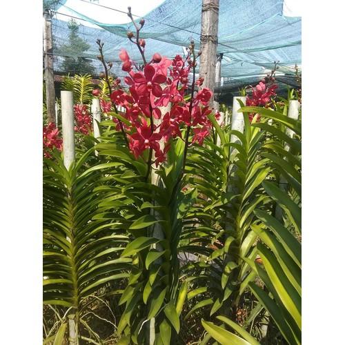 Combo Lan Mokara màu đỏ quặt Mua 4 tặng 1 - 6479523 , 16560811 , 15_16560811 , 250000 , Combo-Lan-Mokara-mau-do-quat-Mua-4-tang-1-15_16560811 , sendo.vn , Combo Lan Mokara màu đỏ quặt Mua 4 tặng 1