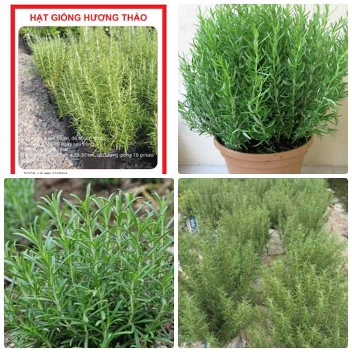 COMBO 2 gói hạt giống cây hương thảo gia vị TẶNG 1 phân bón - 4804036 , 17112990 , 15_17112990 , 49000 , COMBO-2-goi-hat-giong-cay-huong-thao-gia-vi-TANG-1-phan-bon-15_17112990 , sendo.vn , COMBO 2 gói hạt giống cây hương thảo gia vị TẶNG 1 phân bón