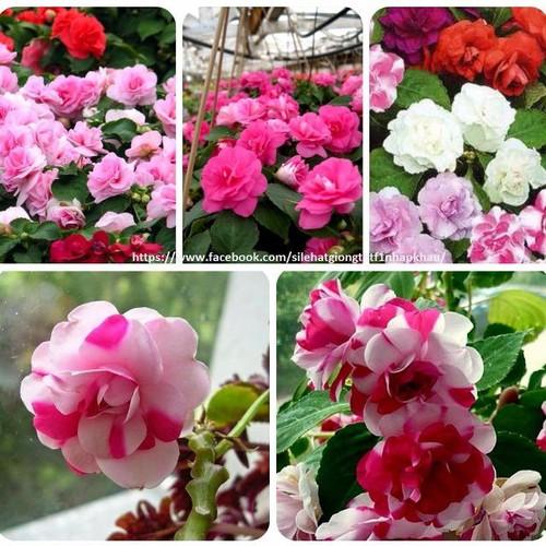 Hạt giống hoa ngọc thảo cánh kép mix_ 1 gói 10 hạt