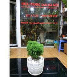 Cây cảnh để bàn đẹp Tùng Bồng Lai