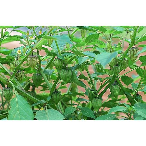 Bộ 3 Gói Hạt Giống cây tầm bóp - 11513177 , 17406654 , 15_17406654 , 75000 , Bo-3-Goi-Hat-Giong-cay-tam-bop-15_17406654 , sendo.vn , Bộ 3 Gói Hạt Giống cây tầm bóp