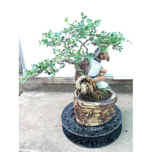 Cây cảnh Cần Thăng Bonsai mini - mã BS20 - 7668080 , 17414341 , 15_17414341 , 450000 , Cay-canh-Can-Thang-Bonsai-mini-ma-BS20-15_17414341 , sendo.vn , Cây cảnh Cần Thăng Bonsai mini - mã BS20