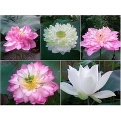 5 hạt giống sen hoàng cung 5 màu